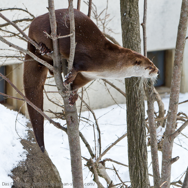 Otter Climbs a Tree 3