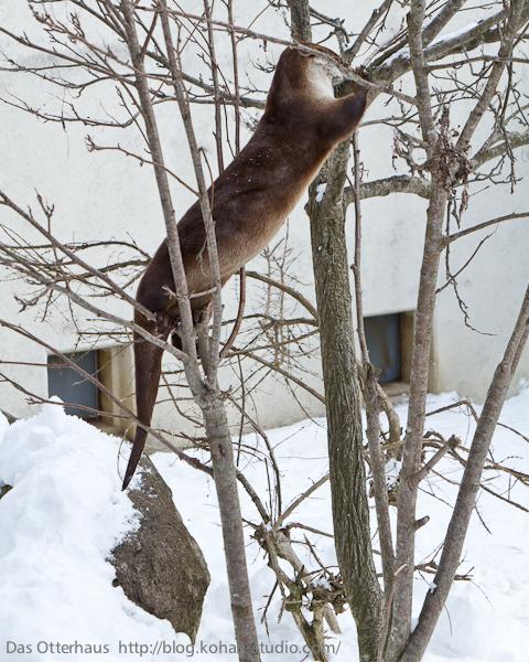 Otter Climbs a Tree 4