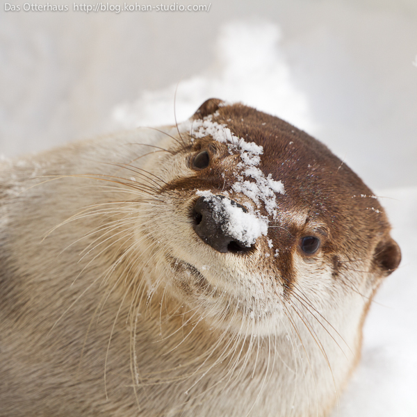 Otter Has Snow on Her Nose