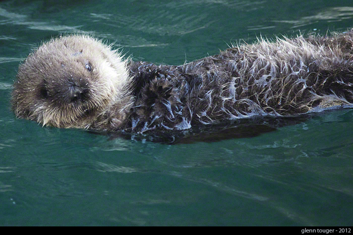 Aniak's Pup Happily Floats at the Seattle Aquarium