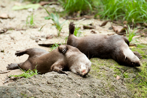 Otters Roll Around
