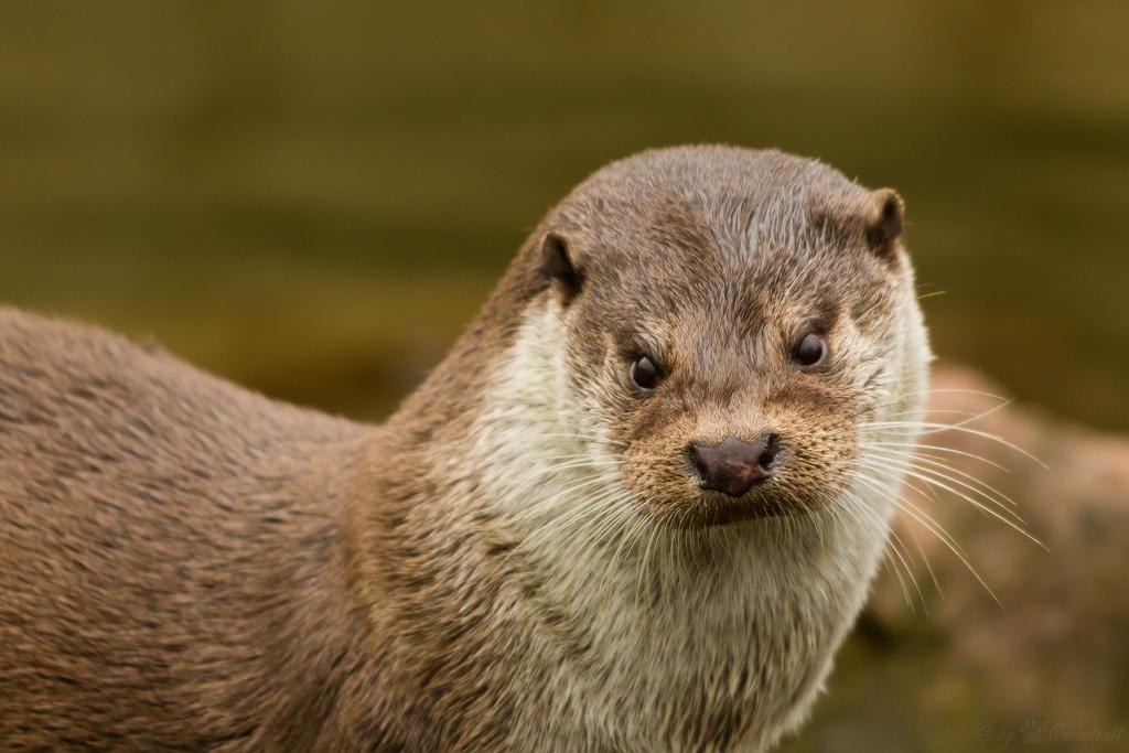 Otter Scowl