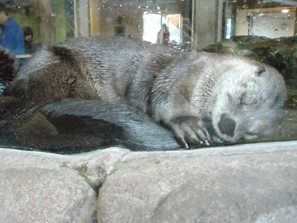 Otter Falls Asleep with Tail in His Mouth