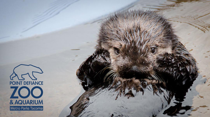 Baby Sea Otter Libby Looks Shy
