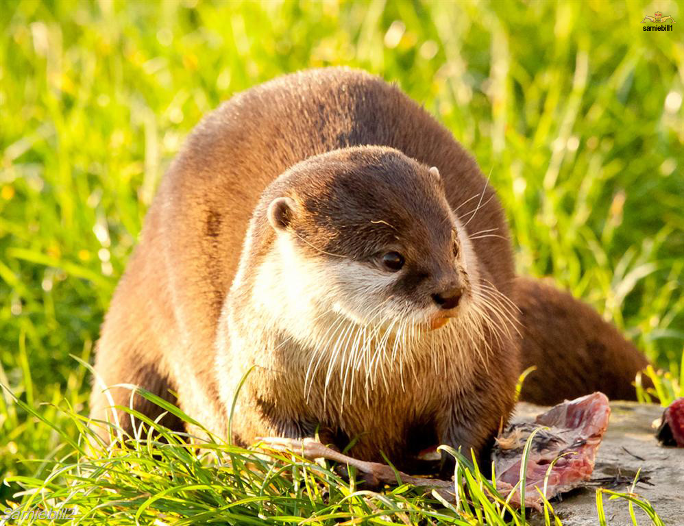 Otter Looks Incredulous That There's No More Noms Left