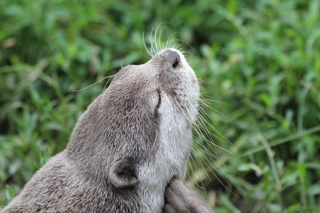 Otter Goes for a Nice Chin Scratch