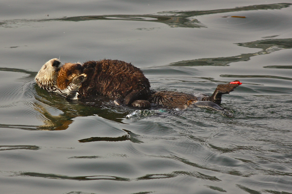 Baby and Mother Otter Cuddle and Float