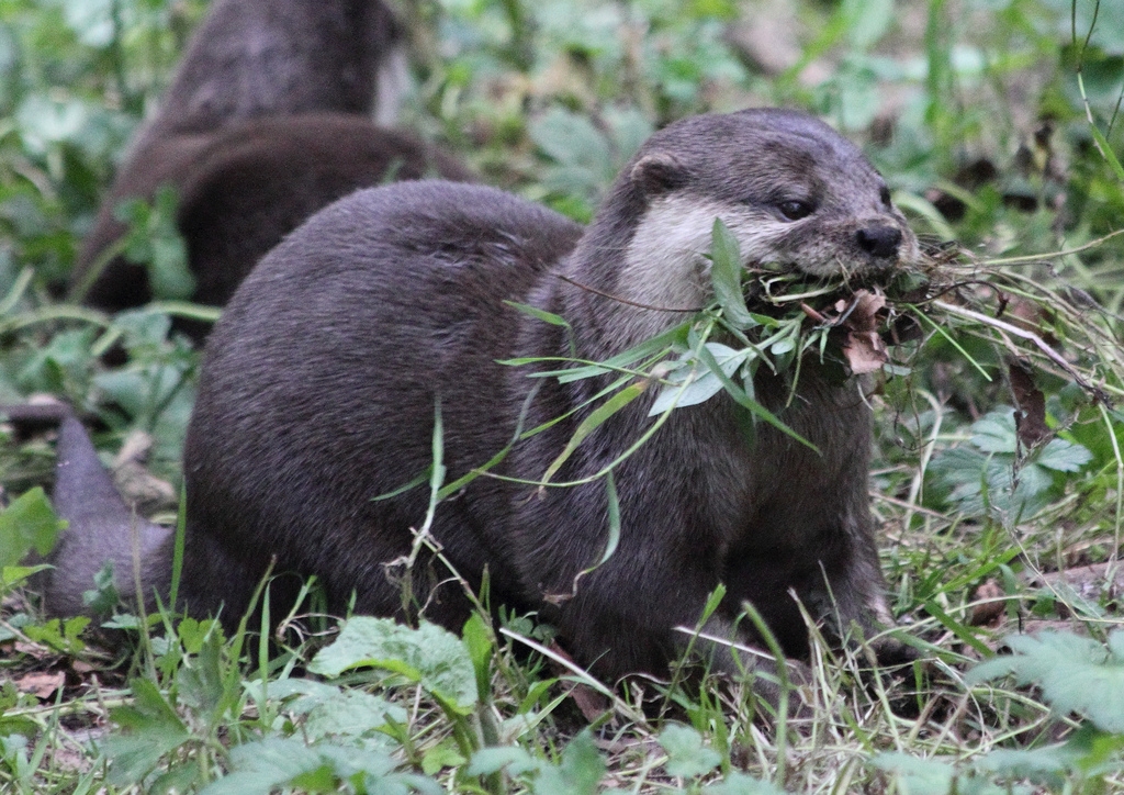 Otter Gathers Branches