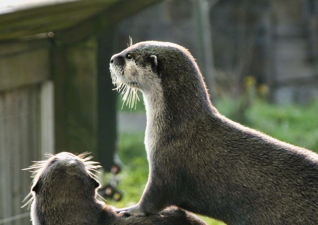 Otter Cooperation