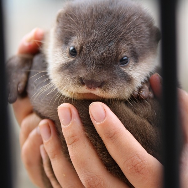Baby Otter Is a Handful