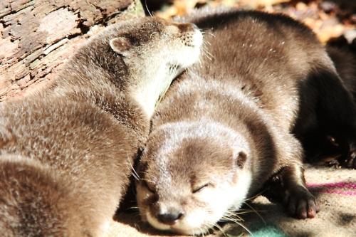 Otters Cuddle and Sunbathe