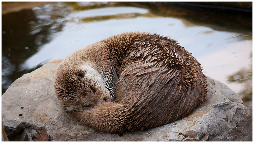 Curled-Up Otter