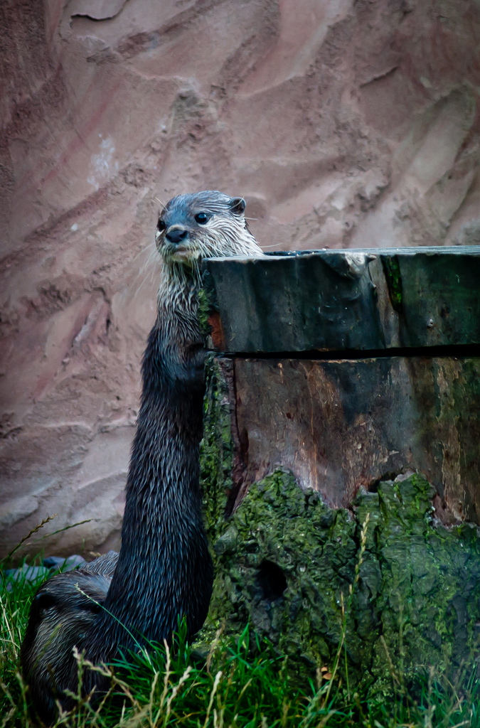 Shy Otter Hides Behind a Stump