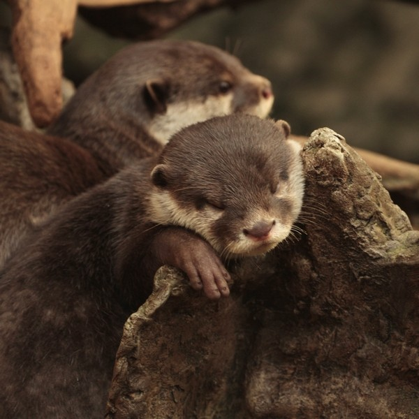 Sleepy Otter Can Snooze in Any Position 2