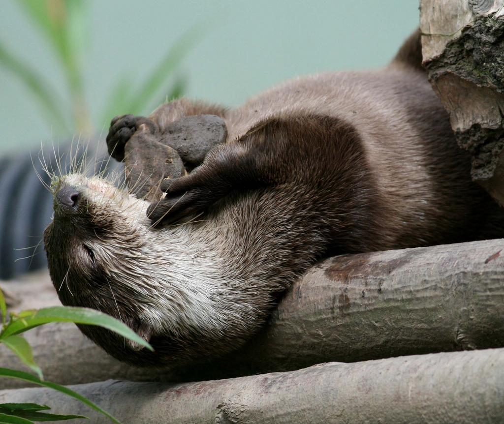 Otter Plays with Stones