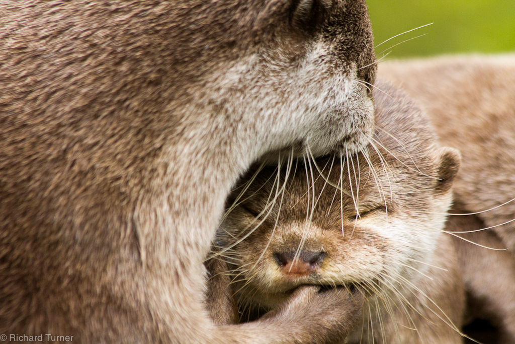 Otter Pair Share a Moment