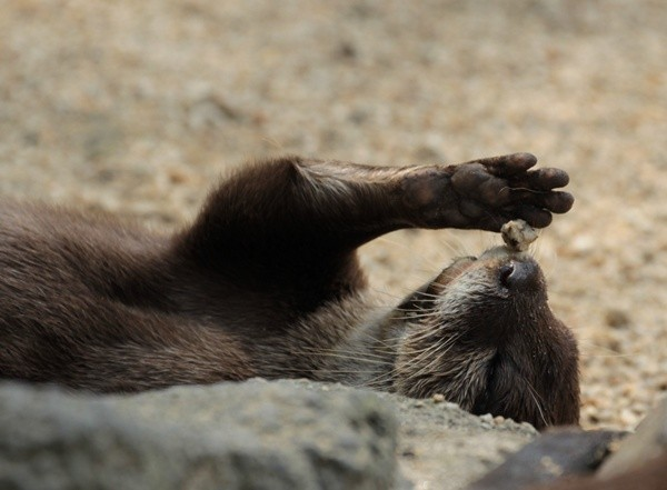 Otter Shows You His Balancing Trick