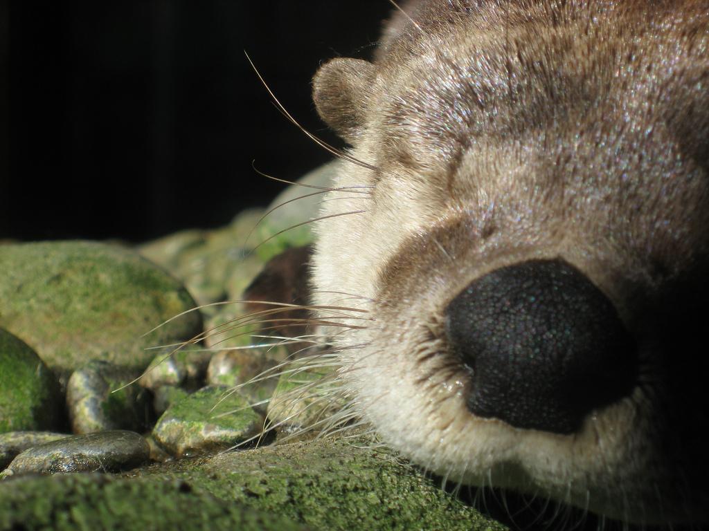 Otter Nose