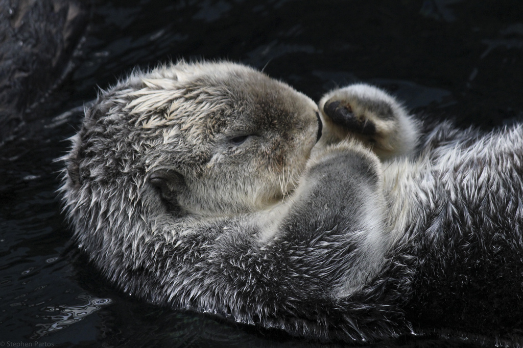 Otter Peacefully Floats On