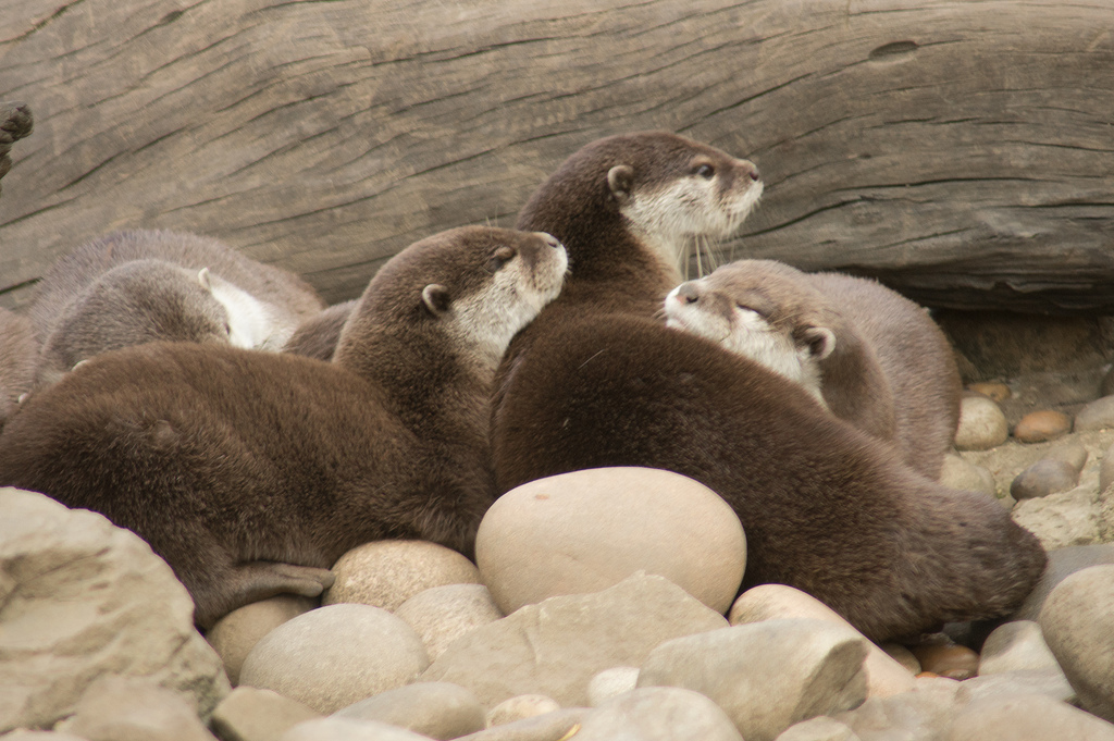 One Otter Keeps Watch While the Others Sleep