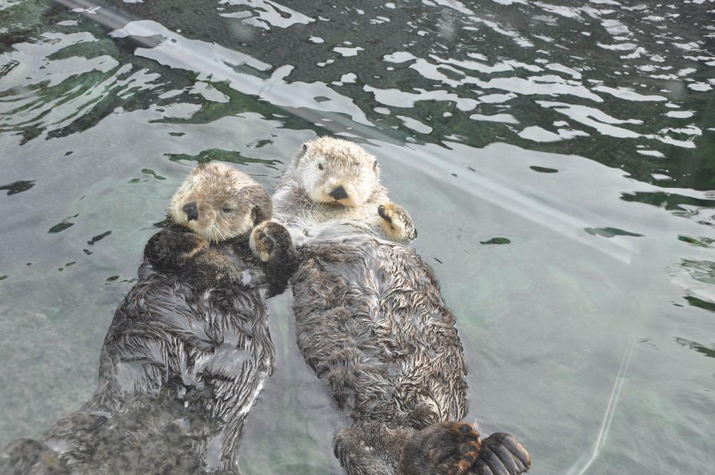 Still Shot of Vancouver Aquarium's Famous Hand-Holding Otters