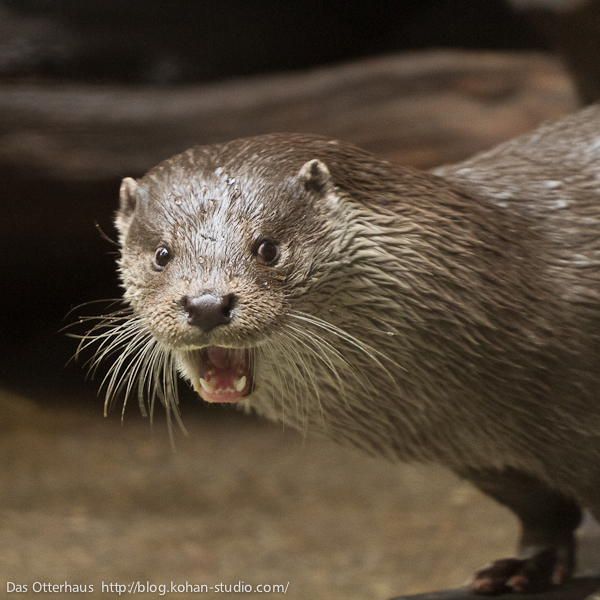 Otter Practices His Reaction to His No-Longer-a-Surprise Party