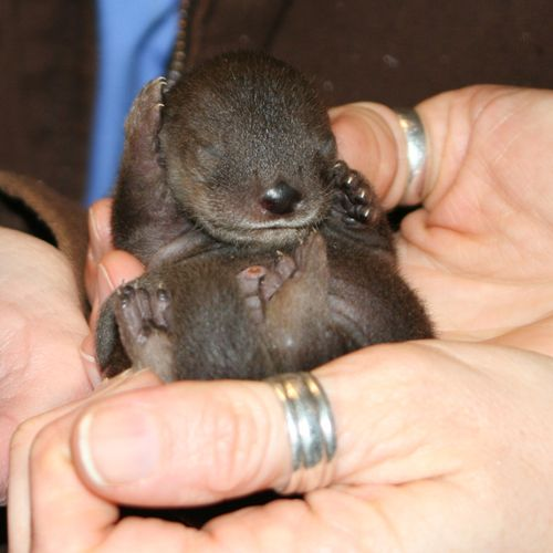 Ginger the Otter's First Litter of Pups 2