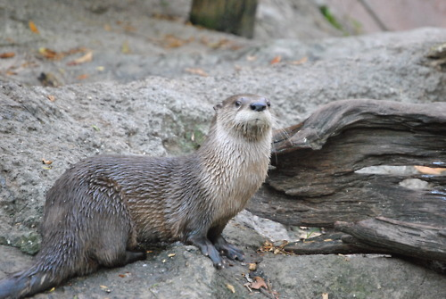 Otter Reminds Me of Dramatic Chipmunk