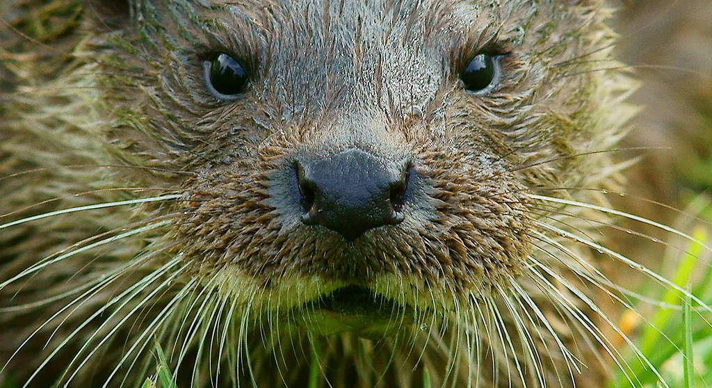 Closeup of Otter and His Fabulous Whiskers