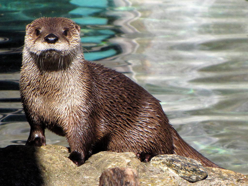 Otter Poses for a Portrait