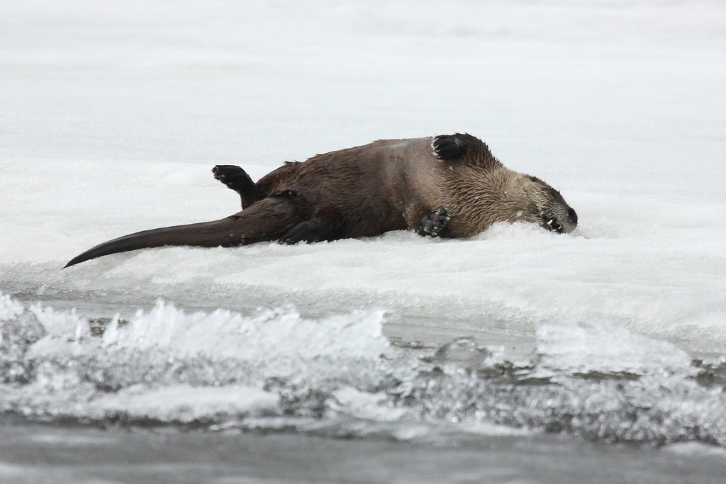 Otter Enjoys a Nice Roll on the Ice