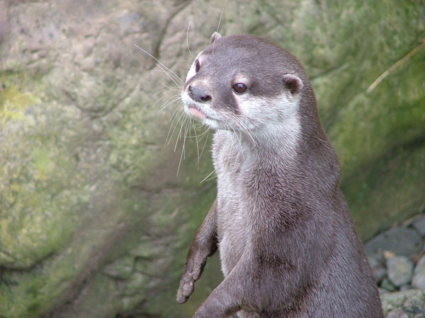 Good-Natured Otter Goes About His Day