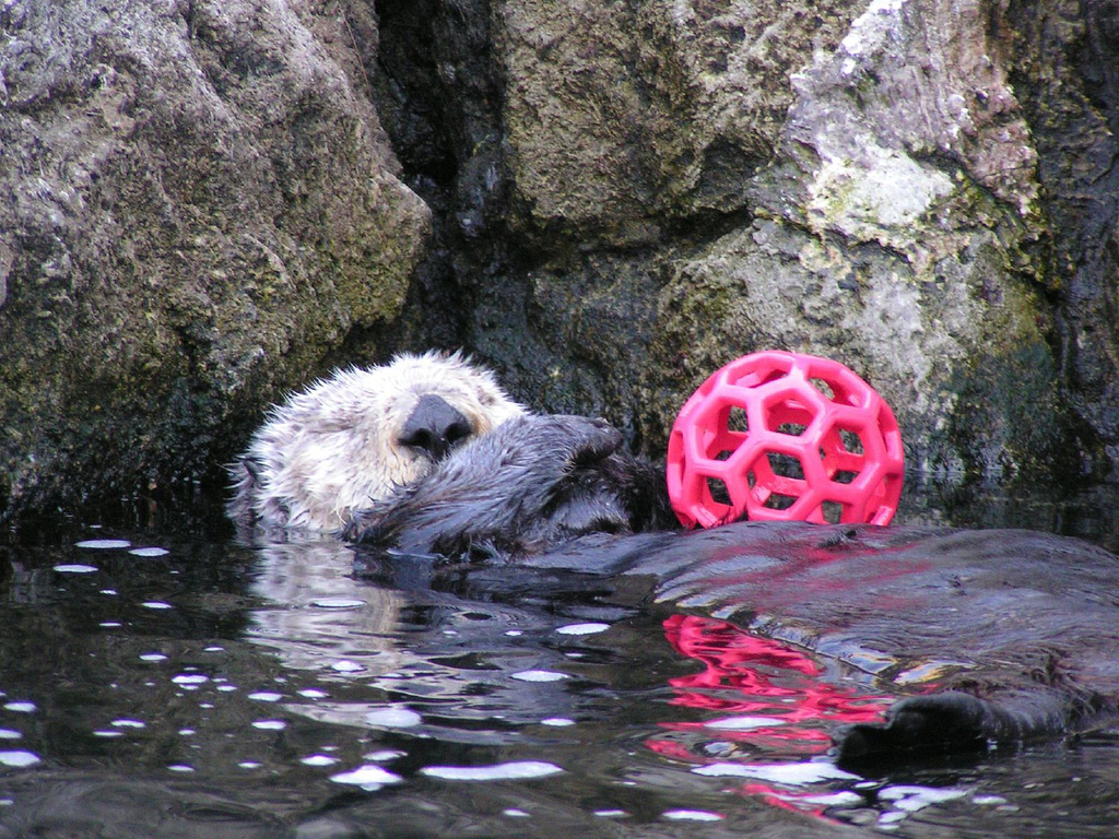 Otter Is Too Sleepy to Play with Her Toy