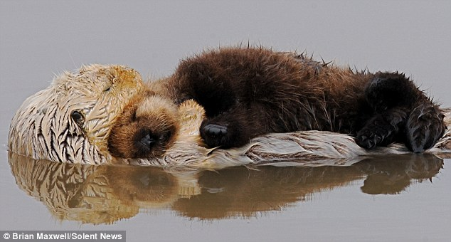 Otter Mum and Pup Share a Tranquil Moment