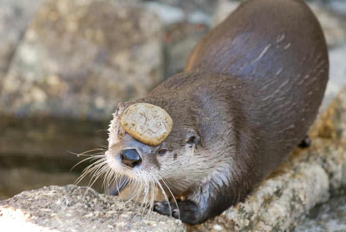 At Otter Etiquette School Students Walk with Stones on Their Heads