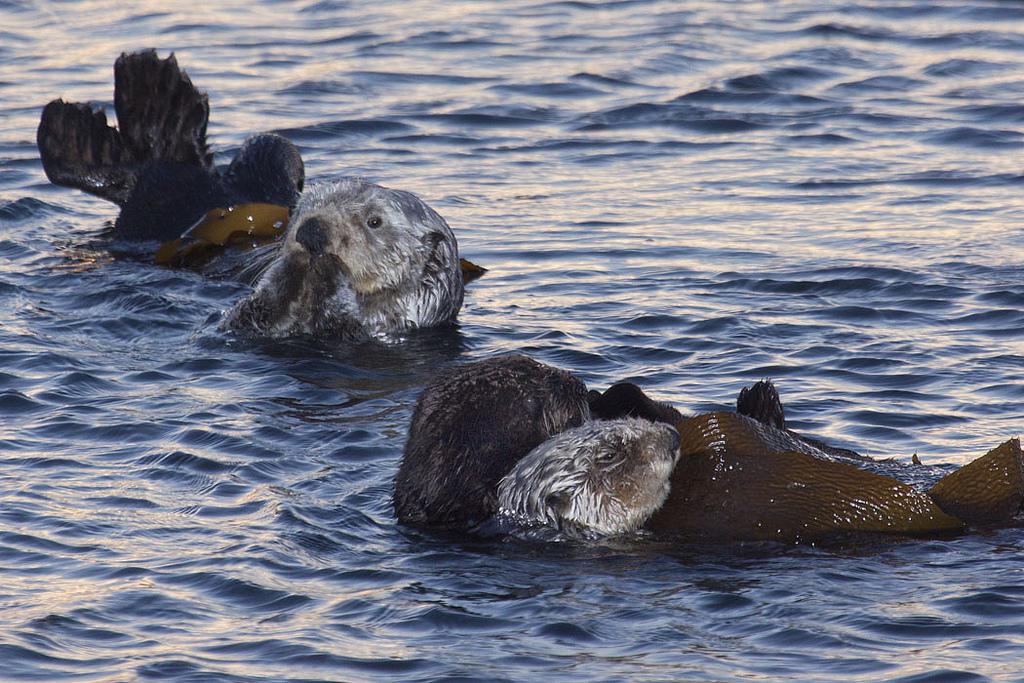Otters at Sunrise