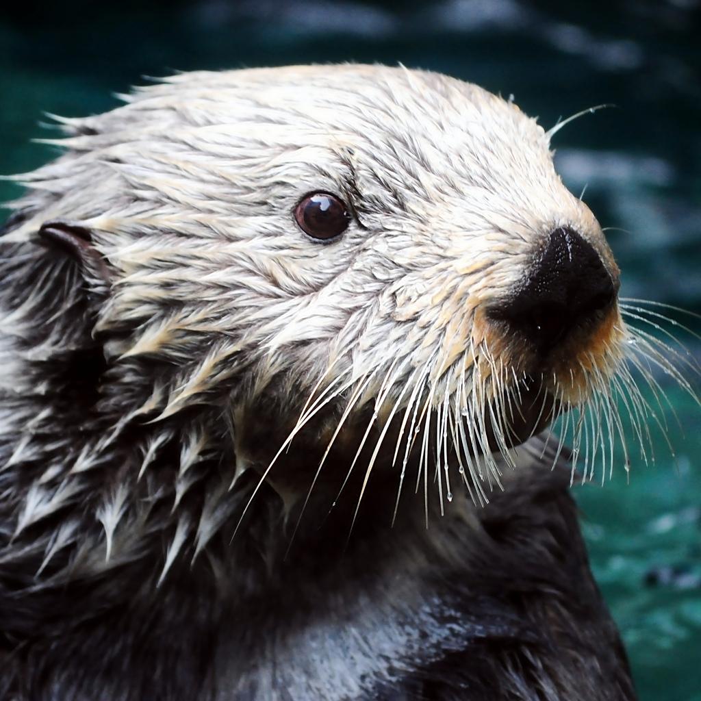 Closeup of White Sea Otter