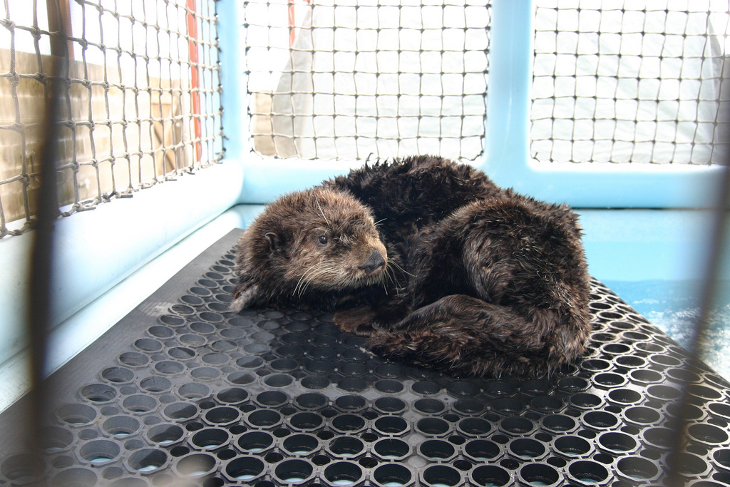 Otter Grooms Herself After De-Oiling