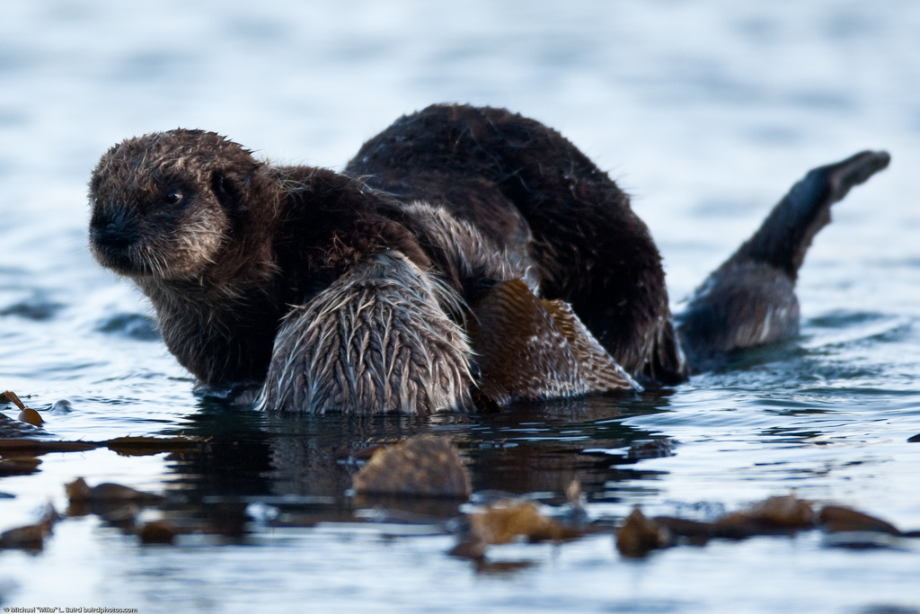 Otter Pup Tries to Wriggle Away from Mum