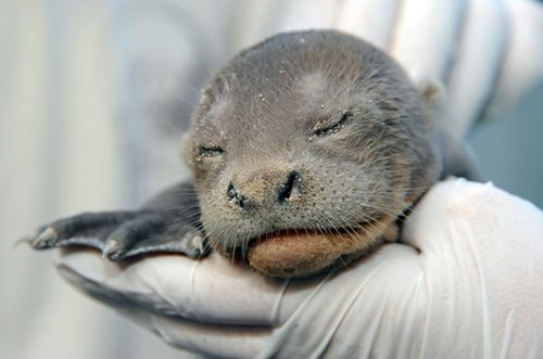 One of Two Giant Otter Newborns