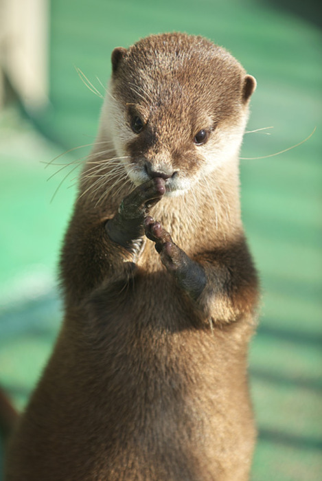 Otter Plays an Invisible Trumpet