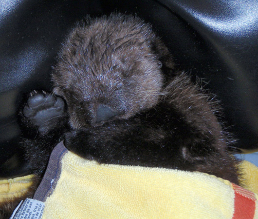 Naptime for Ollie the Otter