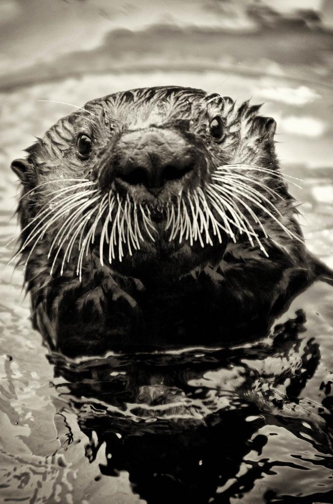 Otter Whiskers