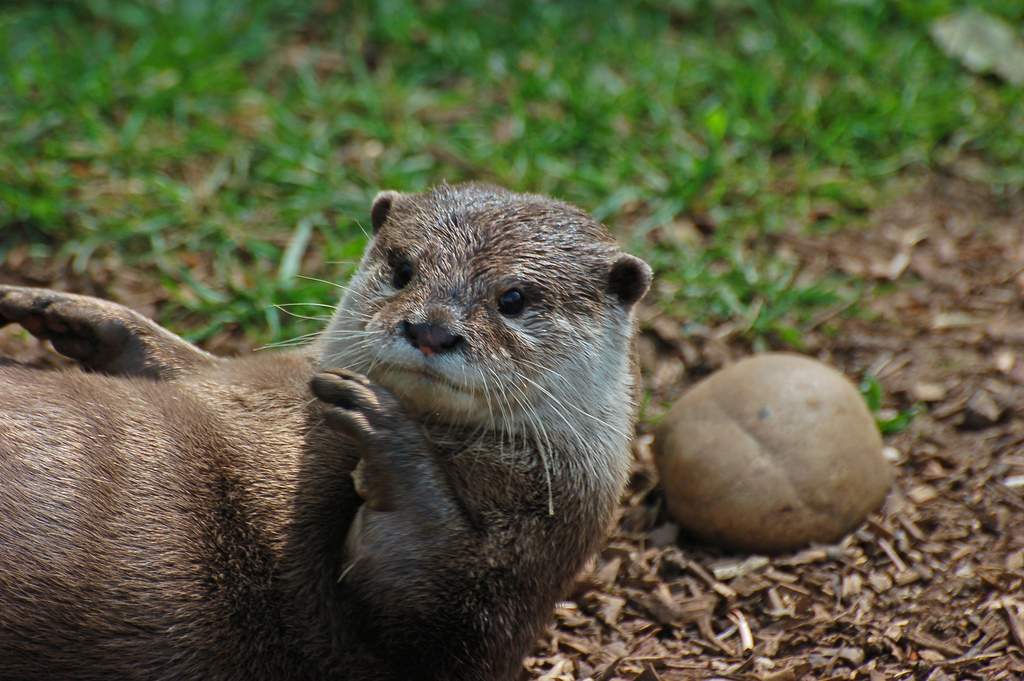Otter Tries a Sit-Up