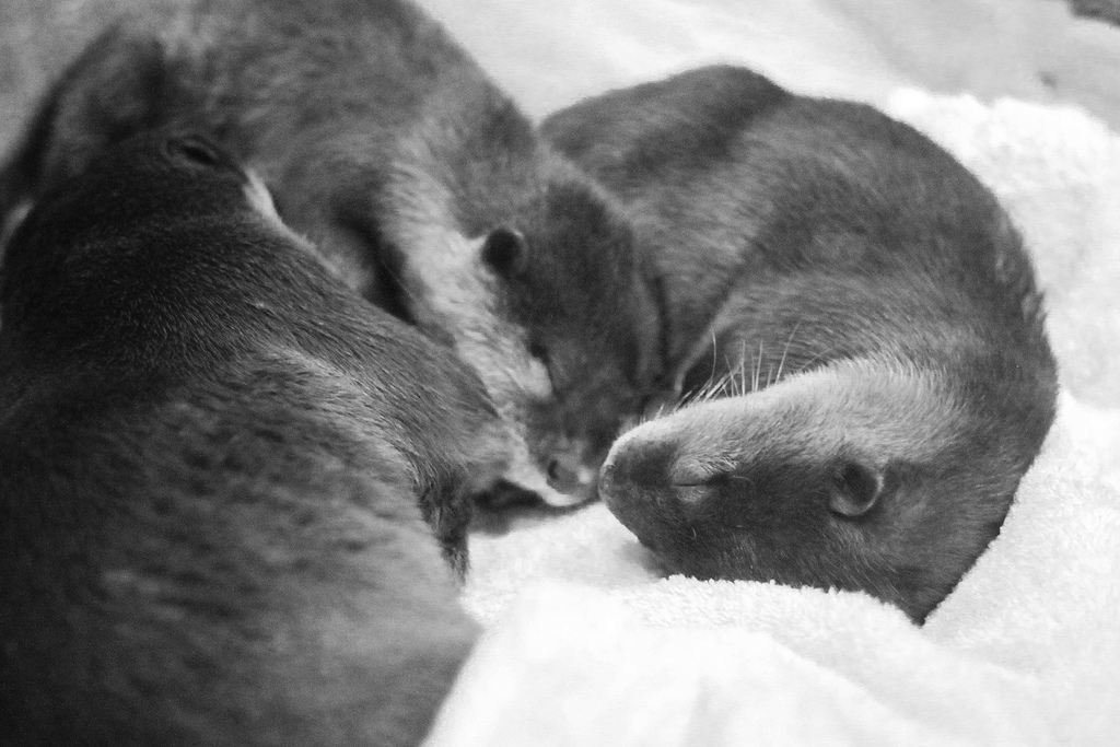 Don't Wake the Baby Otters