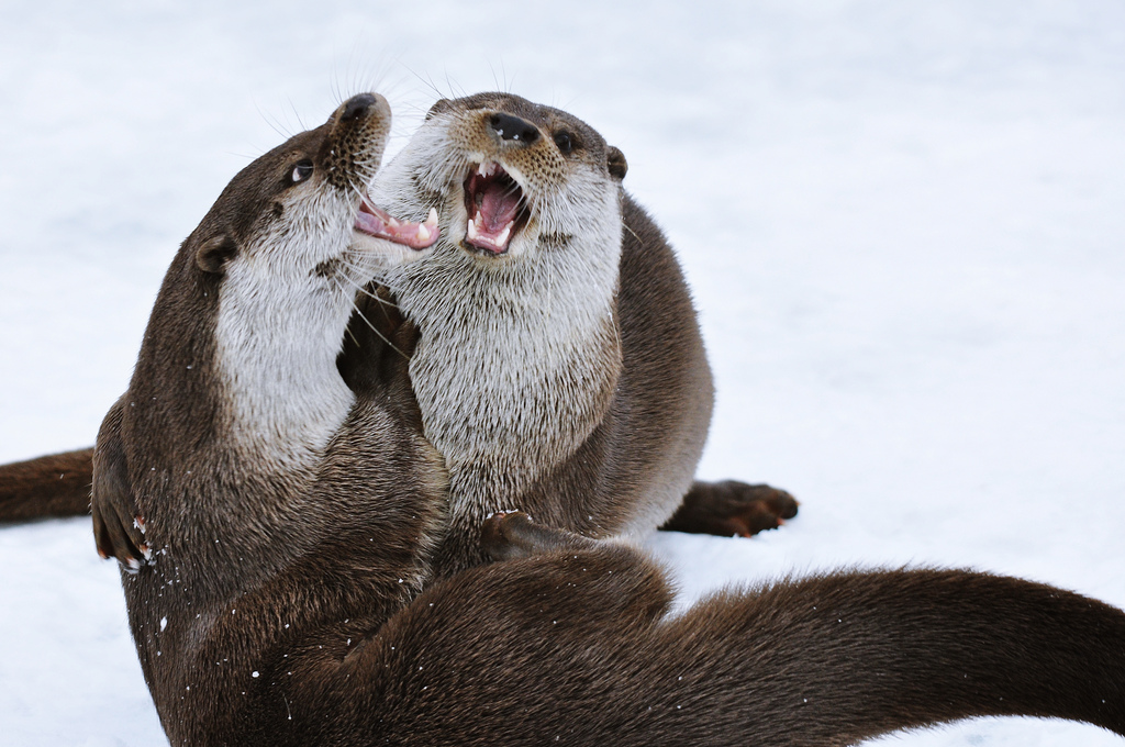 Otters Laugh at an Inside Joke