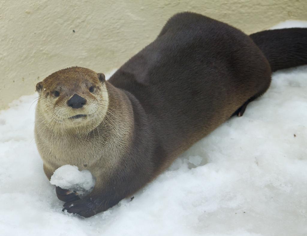 Otter Has a Snowball