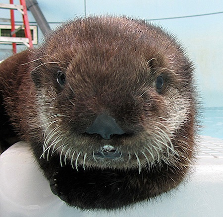 Ollie the Baby Otter Closeup