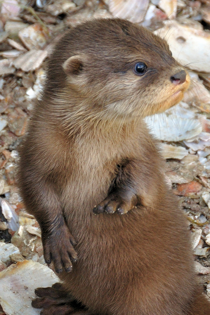 Otter Pup Looks Over His Shoulder