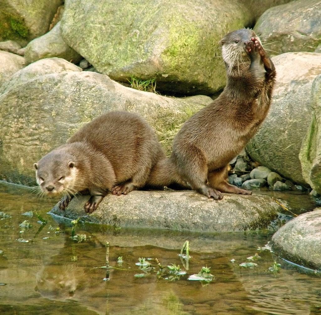 Mischievous Otters